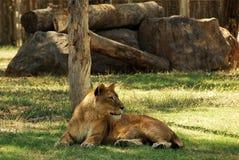 Weiblicher Löwe Lizenzfreies Stockfoto