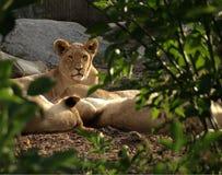 Weiblicher Löwe auf Abdeckung Stockfoto