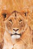 Weiblicher Löwe auf Masai Mara Stockfotografie