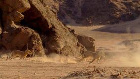 Weiblicher Löwe, der in afrikanisches bushveld, Namibische Wüste, Namibia läuft lizenzfreies stockbild