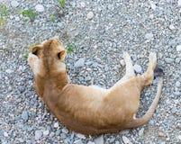 Weiblicher Löwe, der auf Kies am Nachmittag sich entspannt Stockfotos