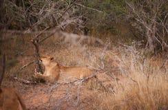 Weiblicher Löwe, der an einem Baum löscht stockbild