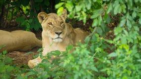 Weiblicher Löwe, der hinter Baum anstarrt lizenzfreie stockfotografie