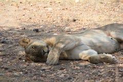 Weiblicher Löwe Dissing an ruaha Nationalpark Tanzania stockfotografie