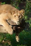 Weiblicher Löwe in einem Baum Stockfoto