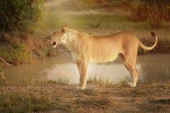 Weiblicher Löwe in Kenia, Afrika lizenzfreie stockfotos