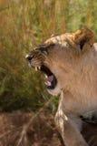 Weiblicher Löwe Knurrens in Afrika Stockbilder