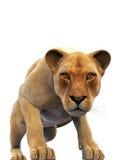 Weiblicher Löwe, Löwin, wildes Tier lokalisiert auf Weiß Stockfotos
