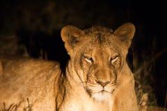 Weiblicher Löwe nachts Stockbilder