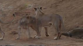 Weiblicher Löwe und spielerische einjährige Junge stock video footage