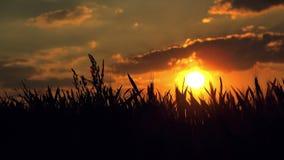 Weiblicher Landwirt auf dem bebauten landwirtschaftlichen Weizen-Gebiet im Sonnenuntergang stock video footage