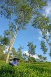 Weiblicher Landwirt, der Teeblätter unter Baum erntet  Stockfotos