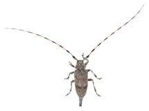 Weiblicher Lang-Hornkäfer, Acanthocinus-aedilis lokalisiert auf weißem Hintergrund Lizenzfreie Stockbilder