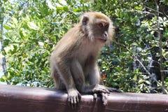 Weiblicher langschwänziger Makaken, Affe-Sitzen, Langkawi, Malaysia Lizenzfreies Stockbild