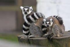 Weiblicher Lemur mit ihrem Schätzchen Lizenzfreie Stockfotos