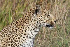 Weiblicher Leopard Lizenzfreies Stockbild