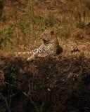 Weiblicher Leopard lizenzfreie stockfotos