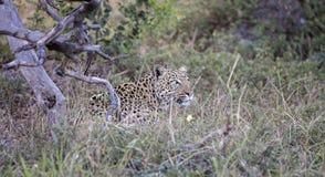 Weiblicher Leopard Stockfoto