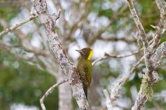 Weiblicher Lesser Yellownape-Spechtgrünvogel, der auf Baum t pickt Lizenzfreies Stockfoto