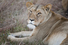 Weiblicher Lion South Africa Stockbild