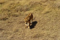 Weiblicher Lion Stalking im Serengeti stockfoto