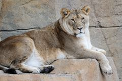 Weiblicher Löwe, der auf Felsen stillsteht Stockbilder