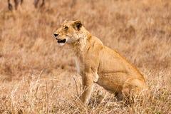 Weiblicher Löwe, der im Gras sitzt Stockfoto