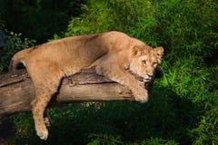 Weiblicher Löwe in einem Baum Stockfotografie