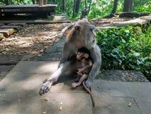 Weiblicher Makaken mit Jungem im Wald lizenzfreie stockfotos