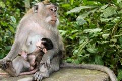 Weiblicher Makakenaffe, der ihr Baby einzieht Stockbild