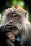 Weiblicher Makakenaffe mit Jungem am Affe-Wald, Bali, Indonesien Stockbild