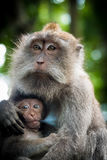 Weiblicher Makakenaffe mit Jungem am Affe-Wald, Bali, Indonesien Lizenzfreies Stockbild