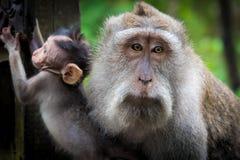 Weiblicher Makakenaffe mit Jungem am Affe-Wald, Bali, Indonesien Stockfotos