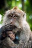 Weiblicher Makakenaffe mit Jungem am Affe-Wald, Bali, Indonesien Lizenzfreie Stockfotografie