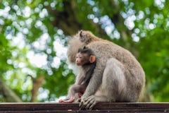 Weiblicher Makakenaffe mit Jungem am Affe-Wald, Bali, Indonesien Lizenzfreie Stockfotos