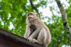 Weiblicher Makakenaffe mit Jungem am Affe-Wald, Bali, Indonesien Stockfoto