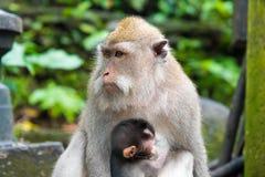 Weiblicher Makakenaffe mit Jungem am Affe-Wald, Bali, Indonesien Stockfotografie