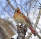 Weiblicher Nordkardinal gehockt in einem Baum stockfotografie