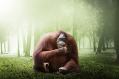 Weiblicher Orang-Utan Affe Stockbilder