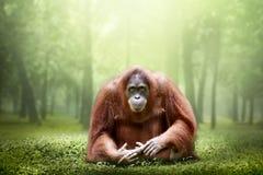 Weiblicher Orang-Utan allein im Dschungel Lizenzfreie Stockfotos