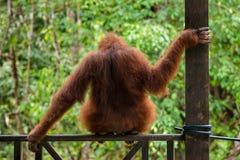 Weiblicher Orang-Utan, der auf dem Zaun im Semenggoh-Naturreservat sitzt Lizenzfreies Stockbild