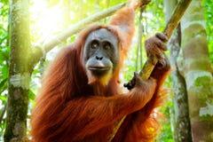 Weiblicher Orang-Utan, der am Baumstamm sitzt Sumatra, Indonesien Stockfoto