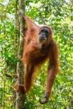 Weiblicher Orang-Utan, der an einem Baum hängt Stockbild