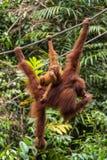 Weiblicher Orang-Utan, der am Seil hängt Lizenzfreie Stockbilder