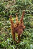 Weiblicher Orang-Utan, der am Seil hängt Stockbild