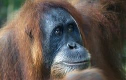 Weiblicher Orang-Utan im Dschungel von Indonesien Lizenzfreie Stockfotos