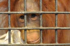 Weiblicher Orang-Utan im Tierkäfig, der traurig sich fühlt Stockfoto