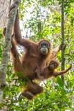 Weiblicher Orang-Utan mit einem Baby, das an einem Baum hängt Lizenzfreies Stockfoto