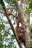 Weiblicher Orang-Utan mit einem Baby, das an einem Baum hängt Stockbild