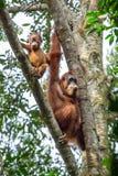 Weiblicher Orang-Utan mit einem Baby, das an einem Baum hängt Lizenzfreie Stockfotos